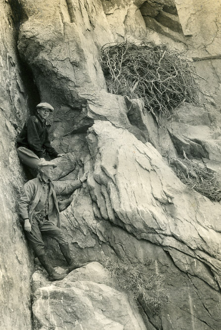 An image of: Bent inspecting a golden eagle's nest, California, 1929