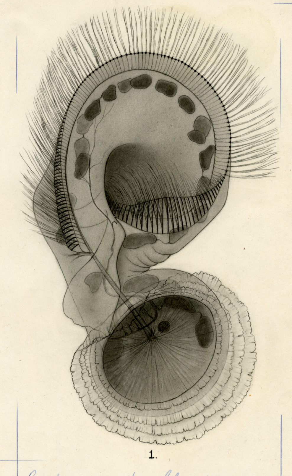 Depiction of Protist