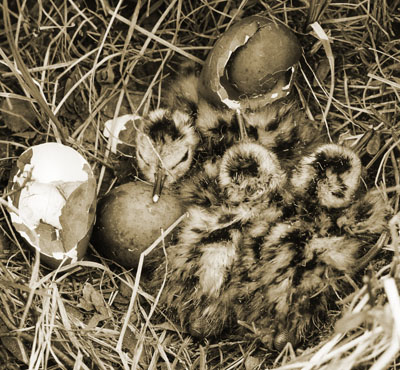 Image of Hudsonian godwit hatchlings