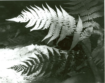 Spinulose ferns with shadows, 1968