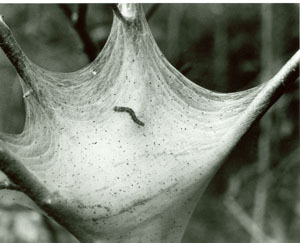 Image of Tent caterpillar