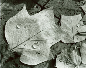 Tulip poplar leaves